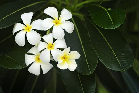 yellow flower tree: yellow plumeria  flower Stock Photo