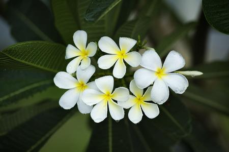 tahitian: yellow plumeria  flower Stock Photo