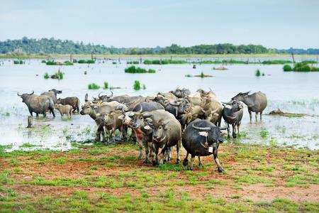 marshy: water buffalo grazing in marshy  area Stock Photo
