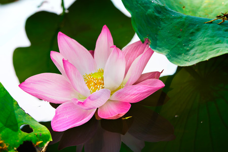 Pink lotus with natural light. Stock Photo