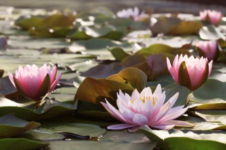 Lotus flower plants in thailand indian lotus sacred lotus stock lotus flower plants in thailand indian lotus sacred lotus bean of india stock photo mightylinksfo