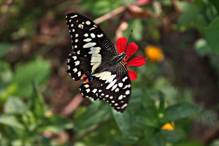 radiance: Beautiful butterfly Sucking nectar on a red zinnia.The natural beauty and radiance. Stock Photo