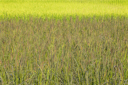 field of thai: Landscape of row of black sticky rice and green paddy rice field in the morning in Thailand.