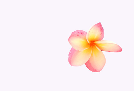 panicle: Colorful of Panicle of Plumeria flower on white background.