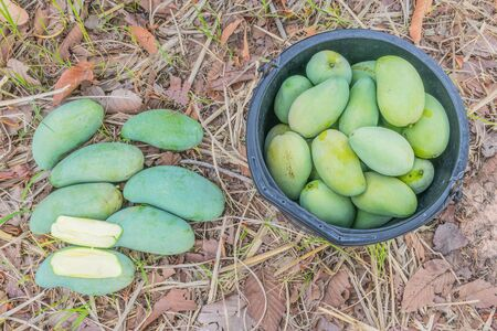 The mature stage of green mango, harvest season in the plantation field.