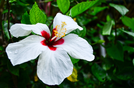 White Hibiscus Flower Blooming on Green Nature Background Focus on Petals Banco de Imagens