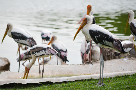 Flock Of Milky Stork in Khao Kheow Zoo, Chonburi Thailand