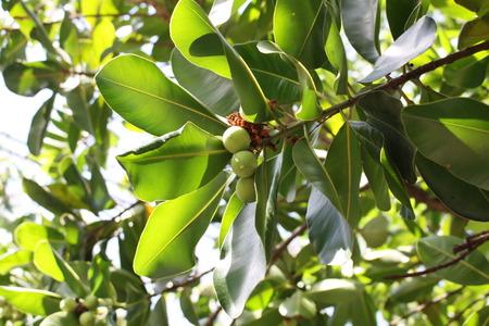 macadamia: arbre de macadamia