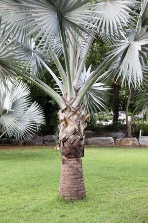 palmetto: Palm tree and the grass green in Thailand
