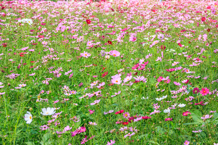 Cosmos flowers field at countryside is bloom and wither Stock Photo