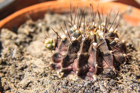 Closeup of black cactus plant with sharp thorns Stock Photo