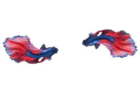 fish tail: Capture the moving moment of red-blue siamese fighting fish isolated on white background, Betta fishs