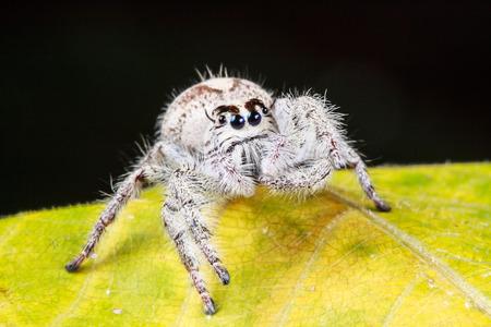 arcuata: Jumper spider on leaf