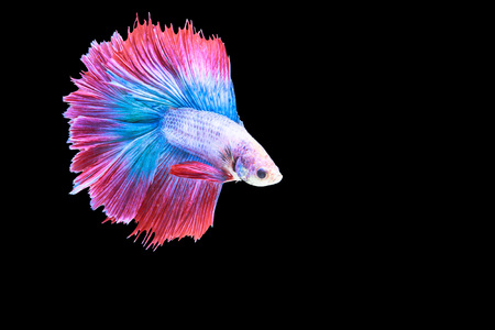fineart: Blue and red fighting fish isolet on black background Stock Photo