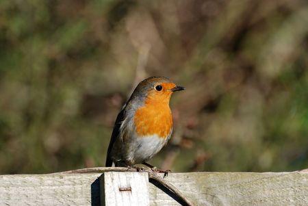 turdidae: Robin