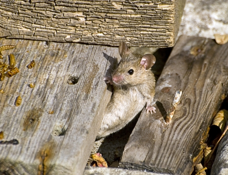 musculus: House Mouse