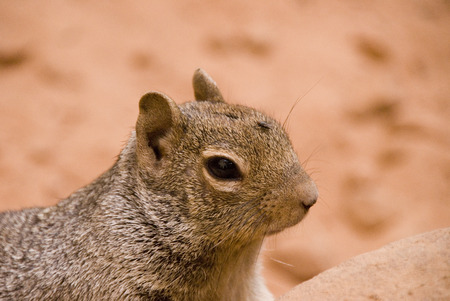 np: Rock Squirrel with a fly on his head near Temple of Sinawava at Zion NP, Utah, USA Stock Photo