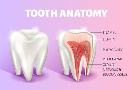 Tooth anatomy infographics. Realistic 3D vector medical banner or poster.
