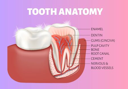Tooth anatomy medical banner. Healthy tooth cut. 矢量图像