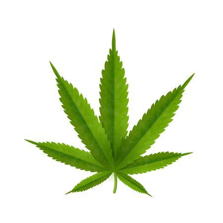 Cannabis leaf isolated on white background. Realistic marijuana.