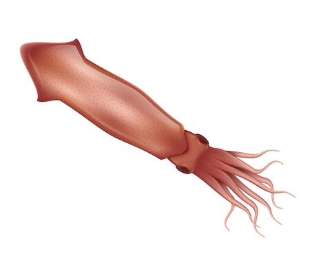 Squid realistic vector illustration. Marine animal with tentacles. Squid isolated on a white background.