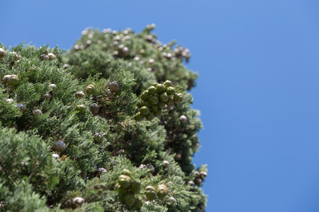cypress tree: Cypress Tree and Cones with Blue Sky