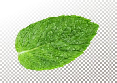 Fresh mint leaf. Vector illustration of menthol healthy aroma. Herbal nature plant.Spearmint realistic green leafs on transparent background.