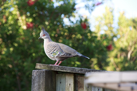 pigeon: Crested pigeon