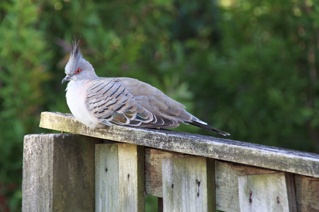 crested: Crested pigeon