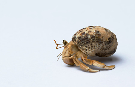 Hermit Crab on white background