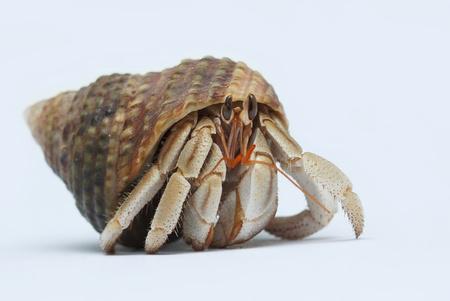decapod: Hermit Crab on white background