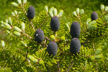 Young cones on fresh green spruce Banco de Imagens