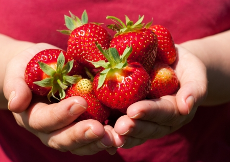 Beautiful, fresh strawberries in the hands of the grower  photo
