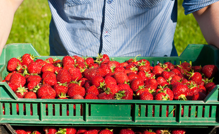 Unrecognizable farmer picking crate with fresh strawberries