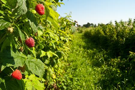Plantation of raspberries, fruits growing on bush photo