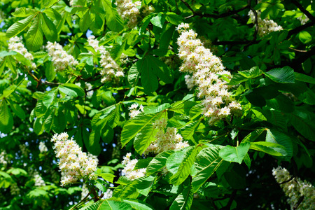 aesculus hippocastanum: Blooming beautiful horse chestnut blossoms in springtime