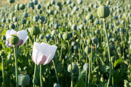 papaver: Papaver somniferum - poppy seed pod in plantation