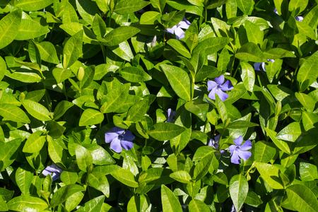 minor: Periwinkle - Vinca minor - spring purple flowers with glossy leaves Stock Photo