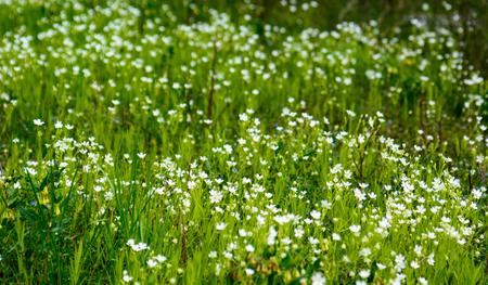 tiefe: Waldwiese mit wilden Frühlingsblumen - seichte Tiefe des Feldes