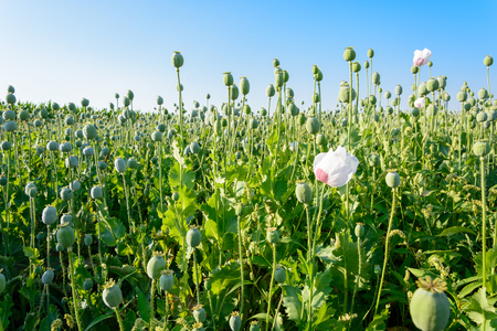 papaver: Opium poppy Papaver somniferum field in Poland