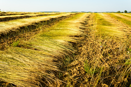 Field of flax during harvest Stock Photo