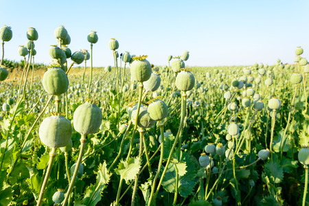 papaver: Green poppy seed field - papaver somniferum