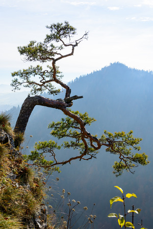 relict: Very old relict pine in Pieniny mountains in Poland