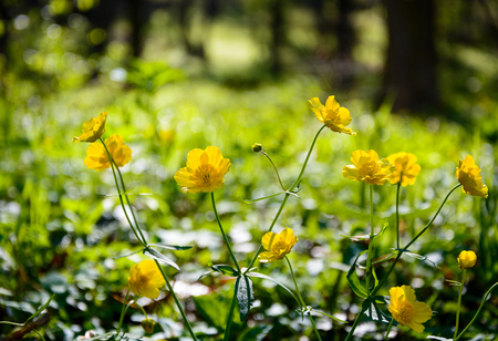 Yellow spring buttercup flowers in forest in Slovak Karst Stock Photo