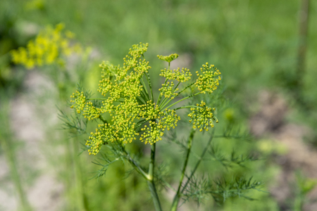 Flower of dill garden in spring. Shallow depth of field Banco de Imagens