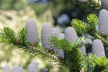 Young fir cones on a spring tree in May Banco de Imagens