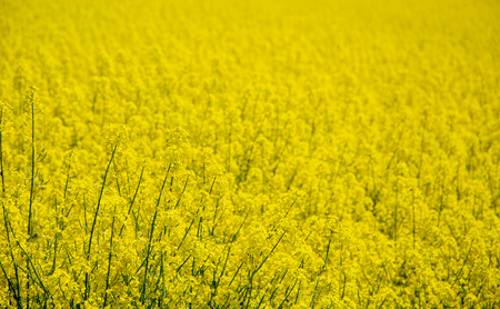 Yellow rapeseed flowers crop photo with shallow depth of field Banco de Imagens