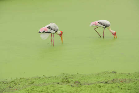 Red-headed bird, white, black and pink, long leg standing in water on a mossy green floor looking for food. In rain in the forest
