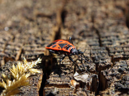 Bug soldier-Pyrrhocoris apterus basks in the spring sun, close-up, macro photo. Variety of wildlife, insects. 版權商用圖片