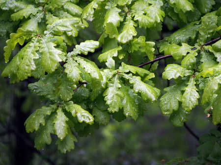Oak leaves after the rain, on a cloudy summer day. Lush green foliage of oak, the average plan.
